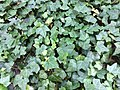 Ivy plant hedera.jpg