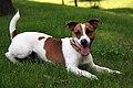 Jack Russell Terrier 2.jpg