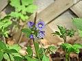 Jacob's Ladder (Polemonium reptans), flowers, New Jersey, 051520, Becky Laboy.jpg