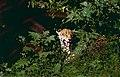 "Jaguar (Panthera onca) male in ""Flehmen"" attitude (10532944193).jpg"