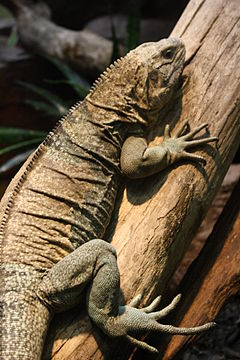Jamaican iguana on tree.jpg