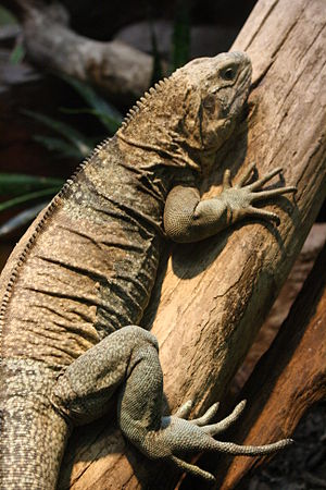 Jamaican iguana - Image: Jamaican iguana on tree