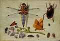Jan van Kessel - A Cockchafer, Beetle, Woodlice and other Insects, with a Sprig of Auricula.jpg