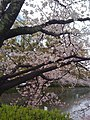 Japanese cherry - panoramio.jpg