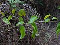 Jasminum ¿ malabaricum ? (5597780919).jpg