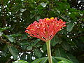 Jatropha multifida 0002.jpg