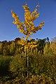 Jeune arbre d'or (22874868645).jpg