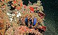 Jewel-box Sea Urchin (Mespilia globulus) (6061374015).jpg