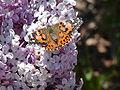 Jmpcronin - butterfly (by-sa).jpg