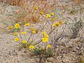Joshua Tree National Park flowers - Coreopsis californica - 2.JPG