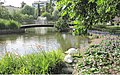 Joutsenet rannalla Forssa, two swans, swan, park - panoramio.jpg