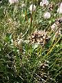 Juncus jacquinii flowers.JPG