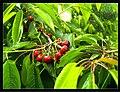June Flower ^ Cherry Farming Endingen Kaiserstuhl - Master Seasons Rhine Valley Photography 2013 - panoramio (25).jpg