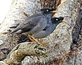 Jungle Myna (Acridotheres fuscus) - Flickr - Lip Kee (1).jpg
