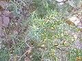 JuniperusOxycedrus sspOxycedrus BotGart-Valencia 20191130 2.jpg
