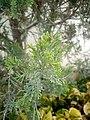 Juniperus chinensis at Akola, India2.jpg