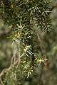 Juniperus oxycedrus Mas de l'Euzière cônes mâles.jpg