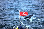Just as dinner was about to be served we were blessed with a feeding orgy of Humpback whales right in front of the ship, forcing the captain to stop in the middle of the Gerlache strait.spectacular (25369594364).jpg