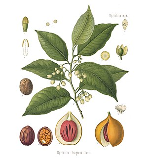 Muskatnussbaum (Myristica fragrans), Illustration