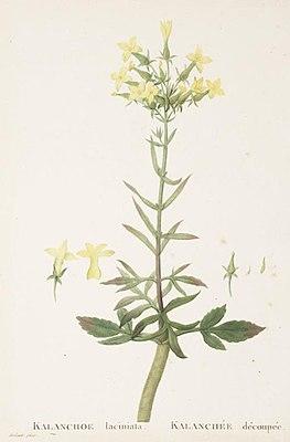 Kalanchoe laciniataauf Tafel 100 von Candolles Plantarum Historia Succulentarum (Band 2, 1802)