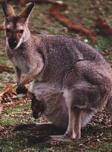 Kangaroo au.jpeg