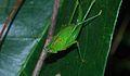 Katydid Nymph (Tettigoniidae) (8677327785).jpg