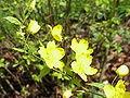 Kerria japonica0.jpg