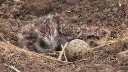 Bestand:Kievit op nest met jongen op bouwland-4961675.webm