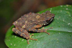 Ansonia (genus) - Kinabalu slender toad