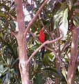 King-Parrot-Mount-Nebo.JPG