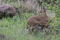 Klipspringer, Oreotragus oreotragus at Kruger National Park (13922299331).jpg