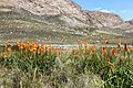 Kniphofia uvaria (Xanthorrhoeaceae) (4576237216).jpg