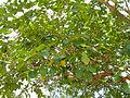 Knob Fig Tree (Ficus sansibarica) (11498807685).jpg