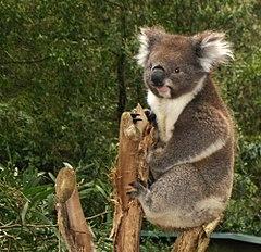 Koala – Wikipedija