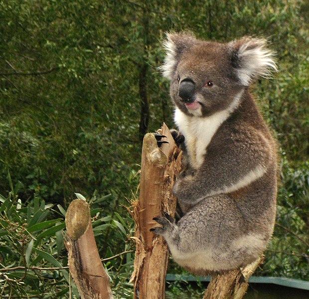 Fájl:Koala.jpg
