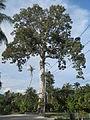 Koh Phangan, Thailand-WatNokBiggestYangTree.JPG