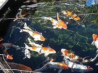 Japanese koi in a backyard pond