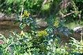 Korina 2016-04-21 Mahonia aquifolium 3.jpg