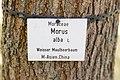 KulTour Parkanlage Sanssouci Stibadium Maulbeerbaum-3310.jpg