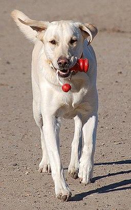 Labrador retriever beim apportieren detail