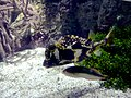 Lactophrys trigonus 01 by Line1.JPG