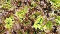 Lactuca sativa 2.jpg