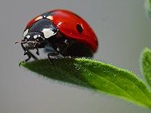 Kumbang koksi