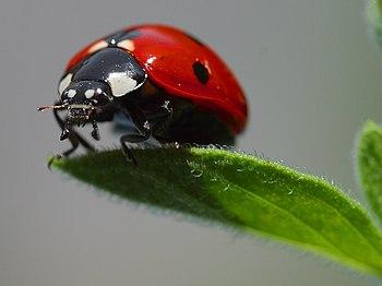 فوائد الصراصير... 350px-Ladybird.jpg
