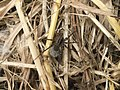 Lago Pudro - Pardosa spider.jpg
