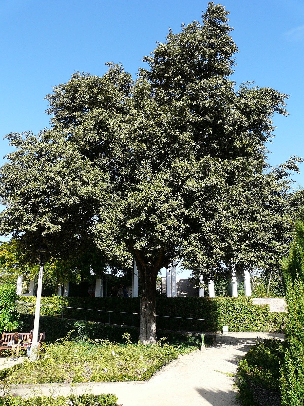lagunaria patersonia wikimedia commons