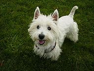 Laika, Pekny West Highland White Terier