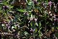 Lainzer Tiergarten März 2014 Purpurrote Taubnesseln (Lamium purpureum) Schwebfliege (Syrphidae) d.jpg