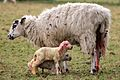 Lambing in England -10March2012.jpg