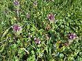 Lamiales - Lamium purpureum - kew 2.jpg